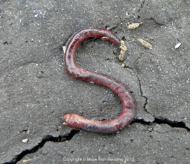 After rain, worms wriggled onto the driveway