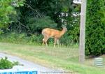 Deer 4