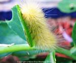 Golden Woolly BearCaterpillar