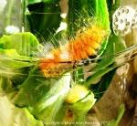 Caterpillars in thejar