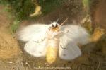 White moth 2