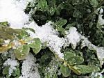 Corn snow on Boxwood PM editsmall