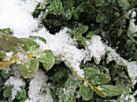 Corn snow on Boxwood PM edit small