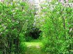 Lilac Lane 2