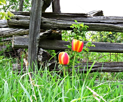 Tulips at  old fence