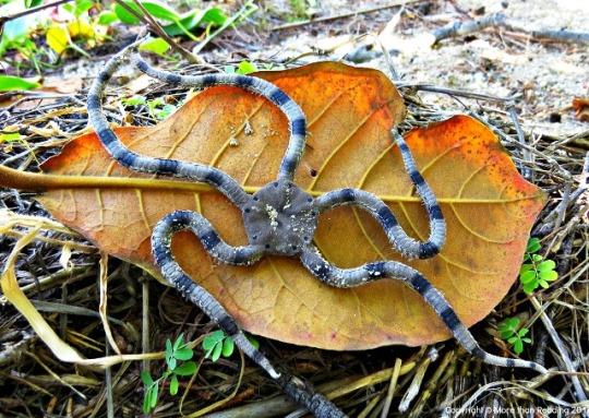 Britttle Star