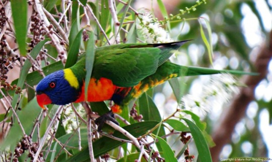 Rainbow Lorikeet in paper bark