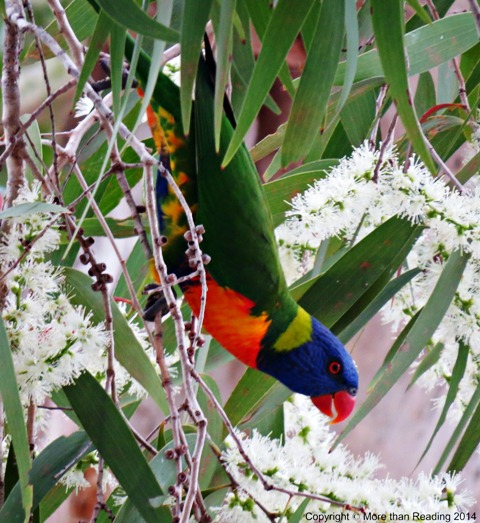 Little camouflage for Rainbow Lorikeet